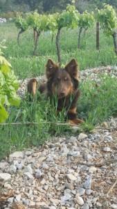 Notre chien truffier Loulou