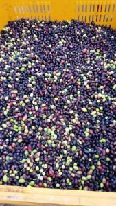 Nos olives pour l'huile