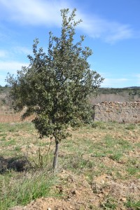 Chêne Truffier